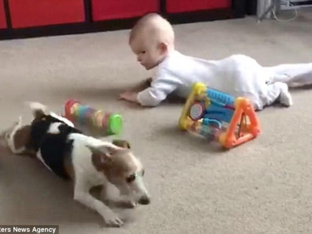 8c4cf4e341 Video: un perrito le enseña a gatear a un bebé - ElSol.com.ar ...