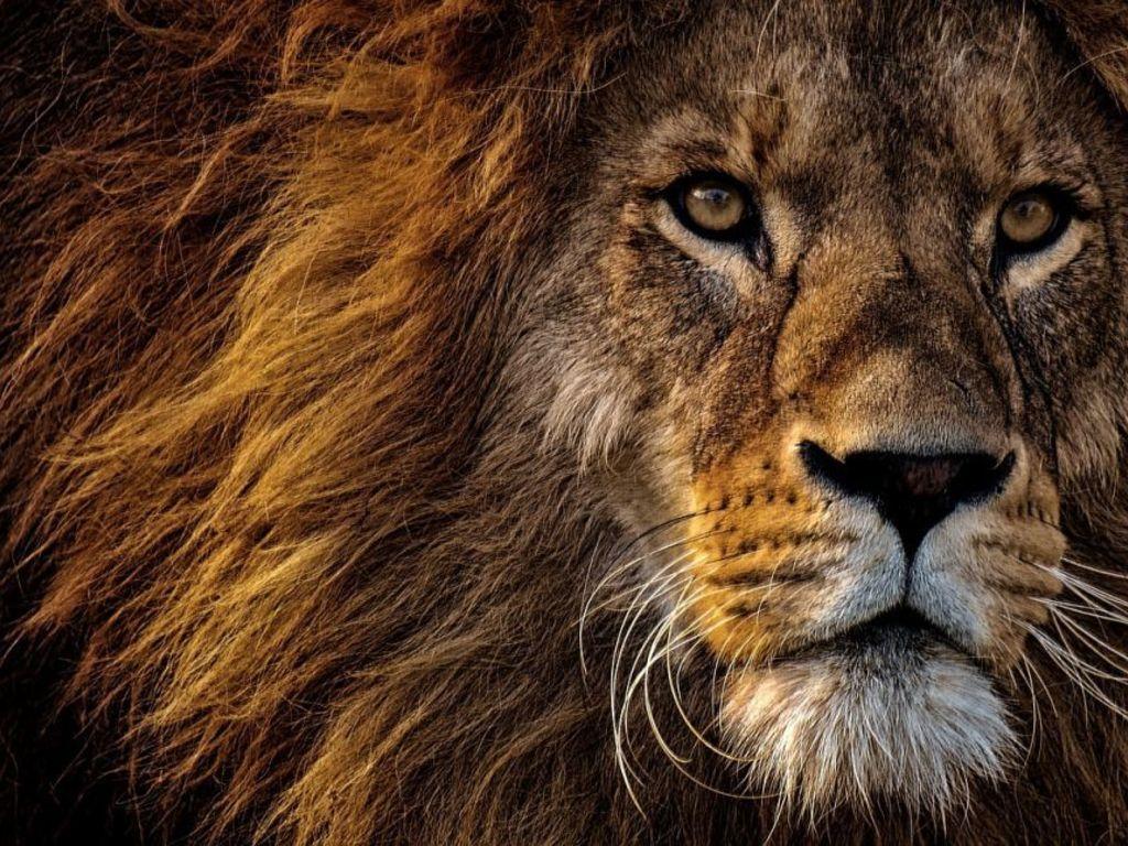 https://elsol-compress-release.s3-accelerate.amazonaws.com/images/large/1565693688259leon-el-rey-de-los-animales.jpg
