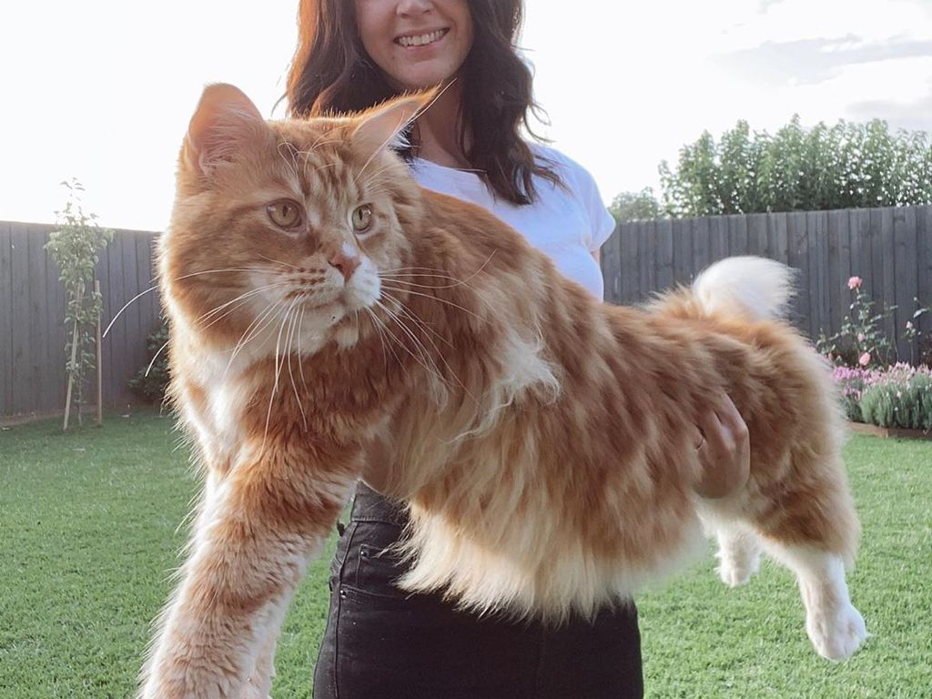 https://elsol-compress-release.s3-accelerate.amazonaws.com/images/large/1591709655103omar_mainecoon_93715716_152415056305912_7274321998174380728_n.jpg