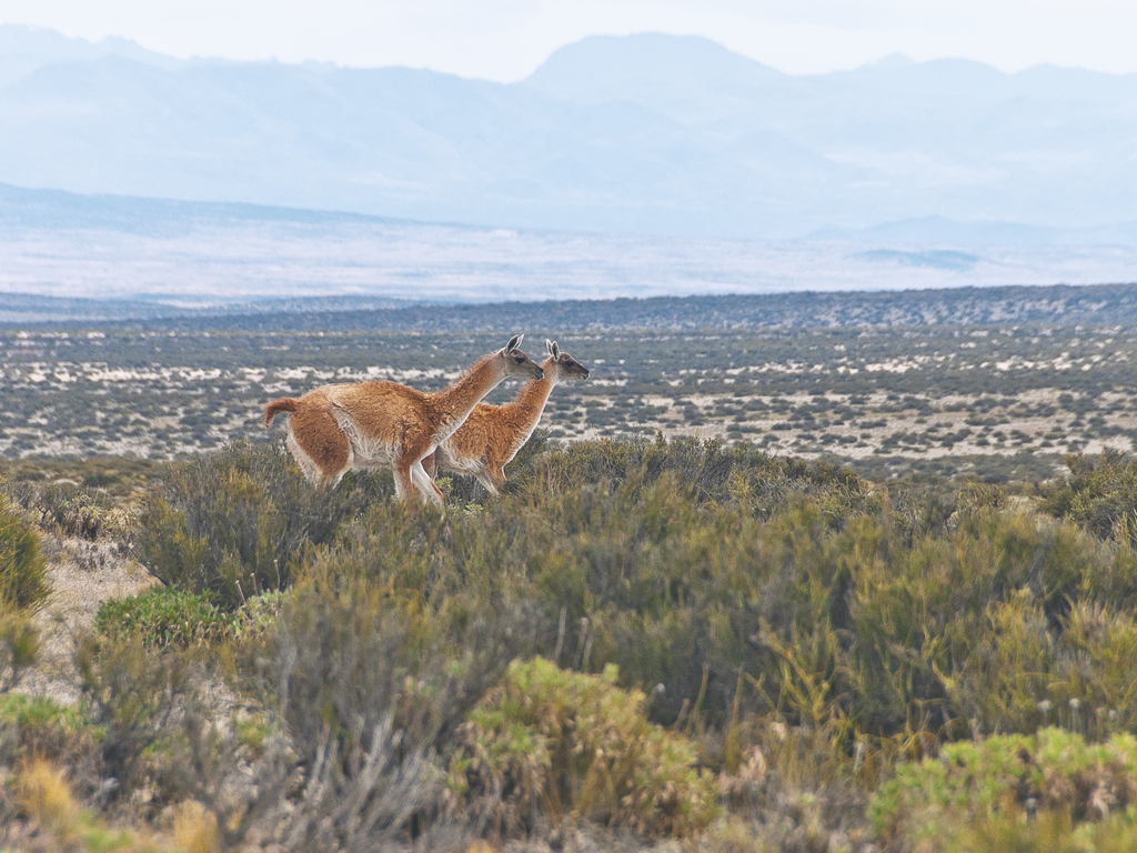 https://elsol-compress-release.s3-accelerate.amazonaws.com/images/large/1622847534665guanacos.jpg